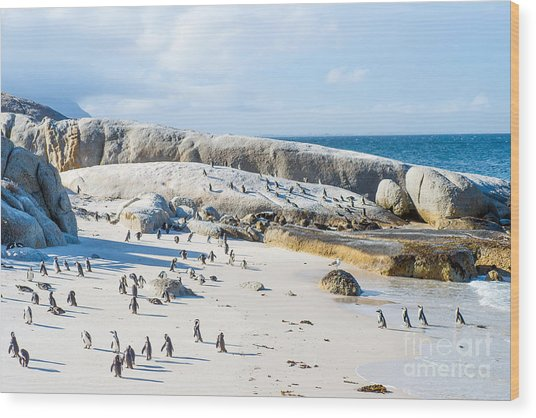 Flock Of Small African Penguins At Wood Print