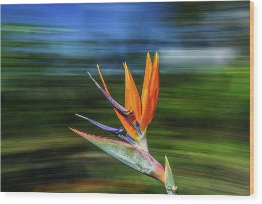 Flying Bird Of Paradise Wood Print