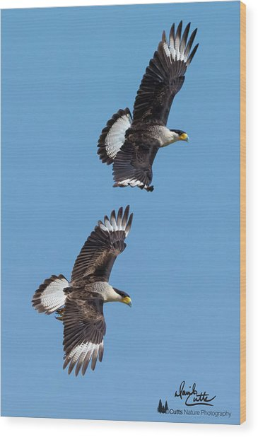 Flying Caracaras Wood Print