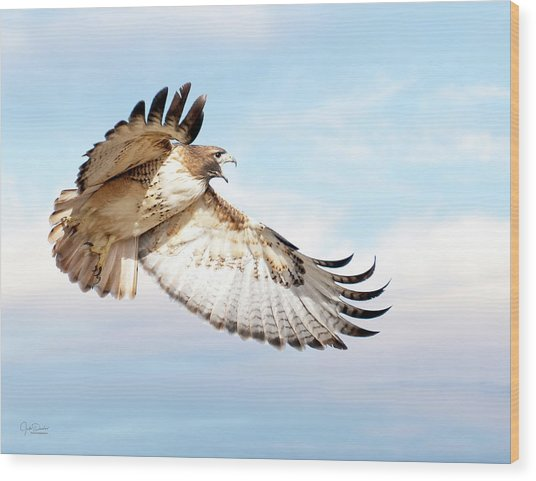 Flying Red-tailed Hawk Wood Print