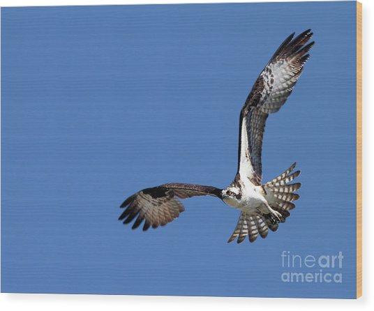 Focused Osprey Wood Print