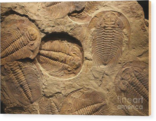 Fossil Trilobite Imprint In The Sediment Wood Print