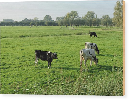 Four Holstein Cows In A Meadow Wood Print