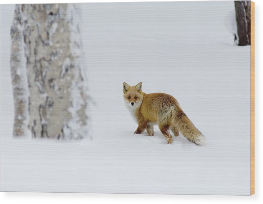 Fox On Snow Field, Hokkaido, Japan Wood Print by Yoichi Tsukioka