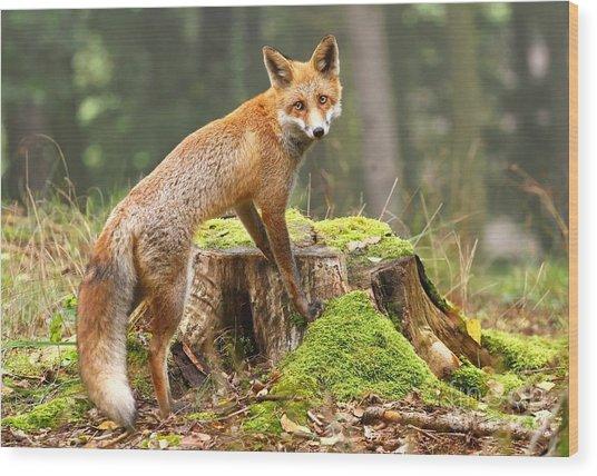 Fox On Stump Wood Print
