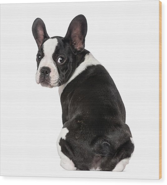 French Bulldog Puppy 3 Months Old Wood Print by Life On White