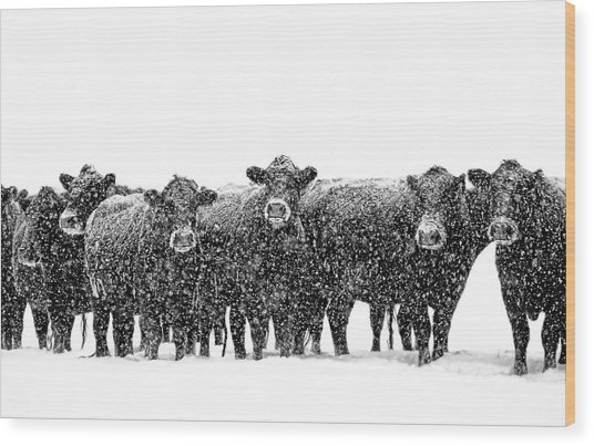 Frosty Faces Black Angus Cows Montana Wood Print