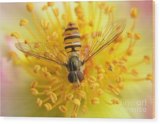 Fruit Fly On A Rose Wood Print