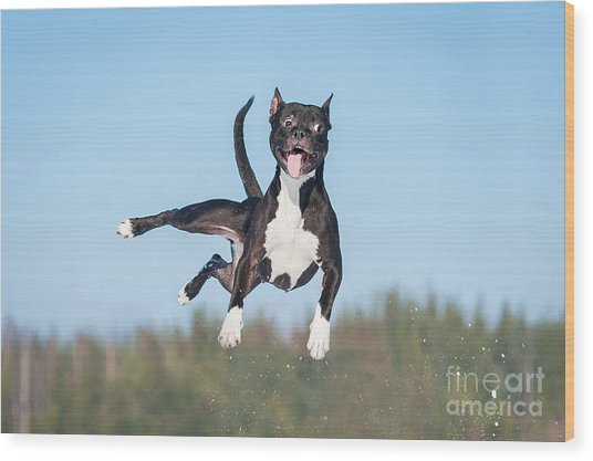 Funny American Staffordshire Terrier Wood Print