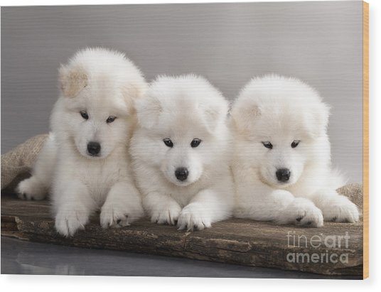 Funny Puppies Of Samoyed Dog Or Bjelkier Wood Print
