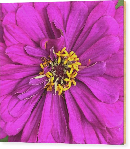 Fuschia Bloom Wood Print