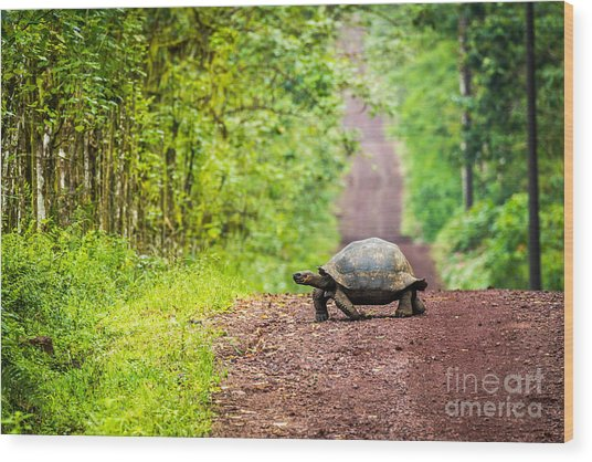Galapagos Giant Tortoise Crossing Wood Print