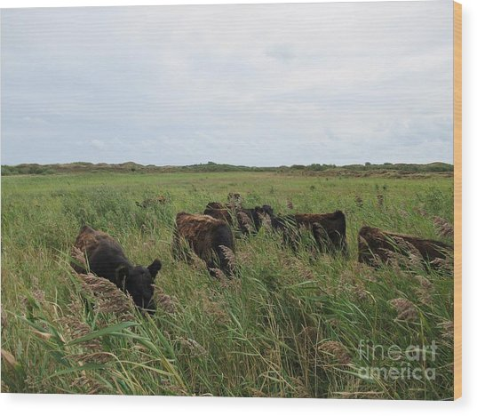 Galloway Cows On Texel North Holland Wood Print