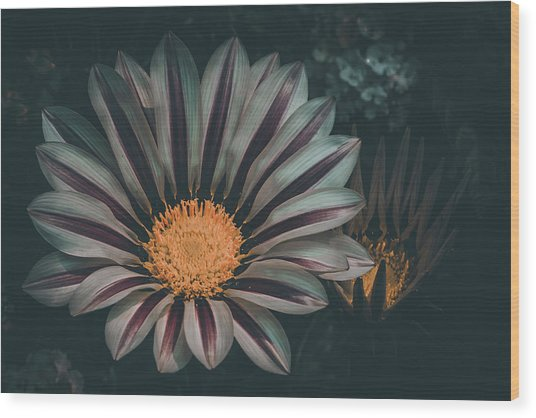 Gazania Gaze Wood Print