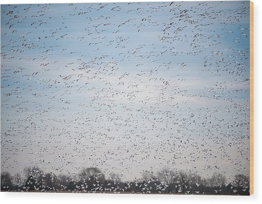 Geese In The Flyway Wood Print