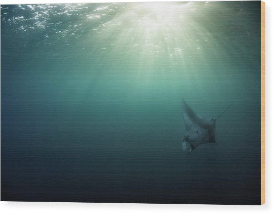 Giant Manta Ray Wood Print