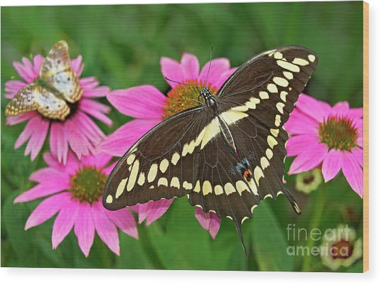 Giant Swallowtail Papilo Cresphontes Wood Print