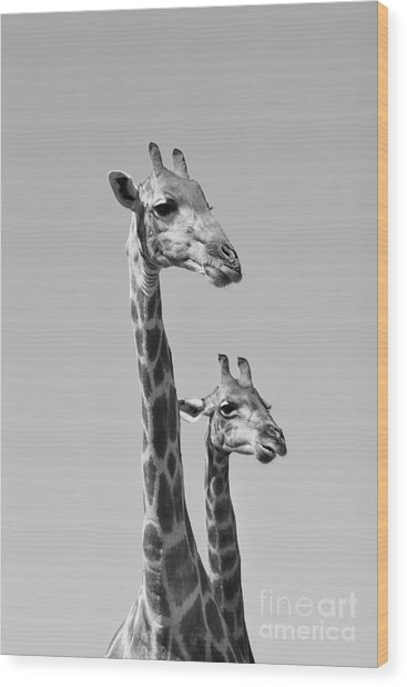 Giraffe - African Wildlife Background - Wood Print