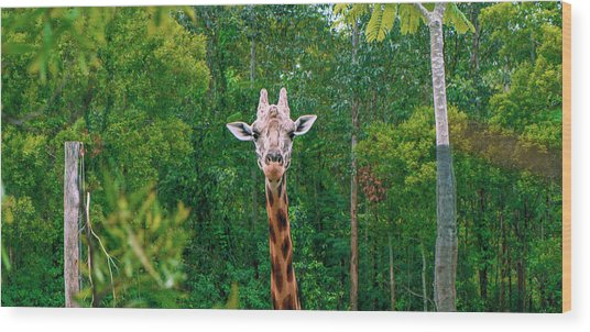 Giraffe Looking For Food During The Daytime. Wood Print