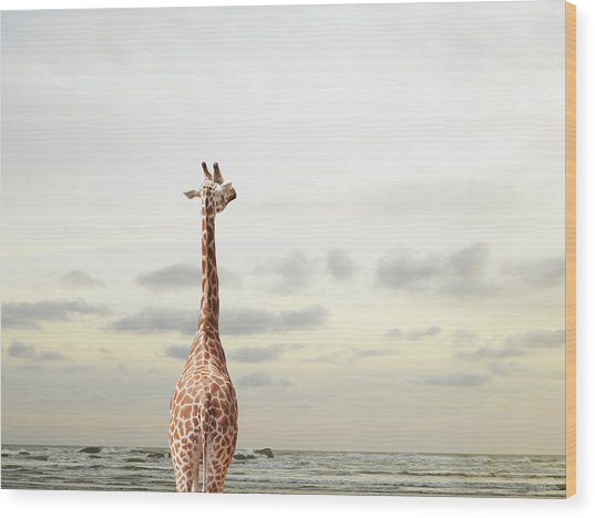 Giraffe Looking Out To Sea Wood Print by Richard Newstead