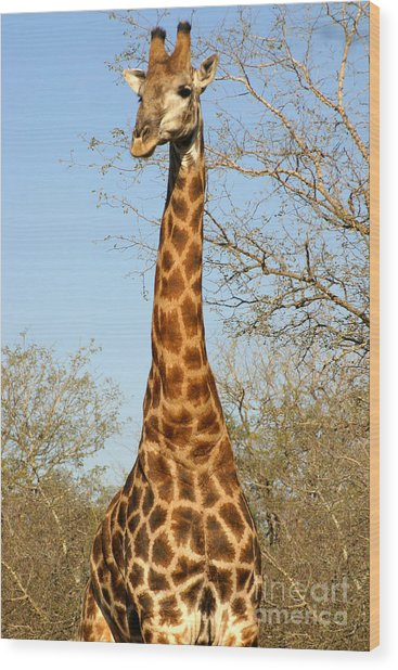 Giraffe Standing In The Trees Kruger Wood Print by Paul Banton
