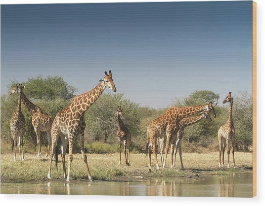Giraffes, Giraffa Camelopardalis Wood Print