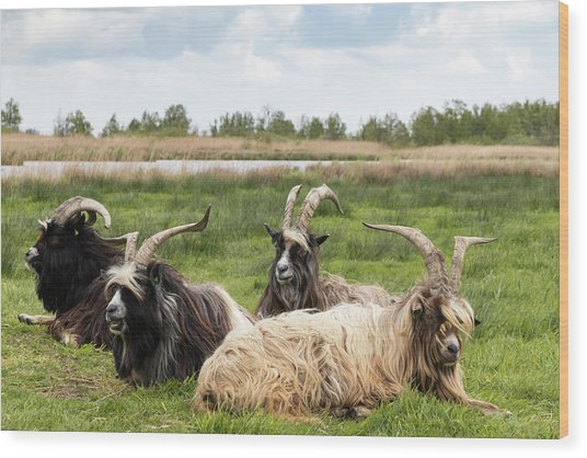 Wood Print featuring the photograph Goats  by Anjo Ten Kate
