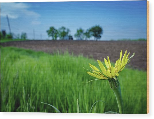 Goat's Beard On Nelson Farm II Wood Print