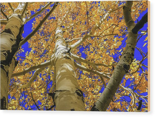 Golden Aspens In Grand Canyon Wood Print