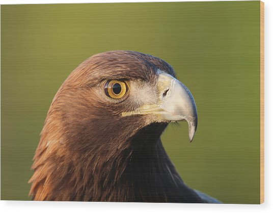 Golden Eagle 5151801 Wood Print
