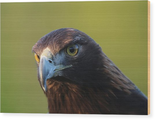 Golden Eagle 5151802 Wood Print