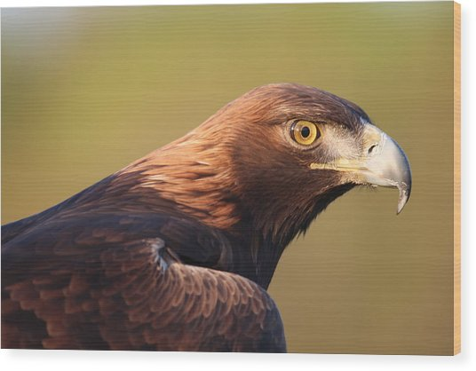 Golden Eagle 5151806 Wood Print
