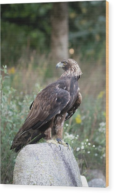Golden Eagle On Rock 92515 Wood Print