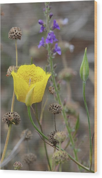 Golden Mariposa Lily  Wood Print by Robin Street-Morris