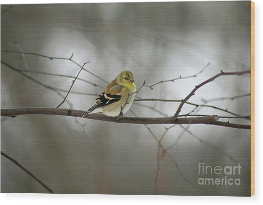 Goldfinch In Winter Looking At You Wood Print