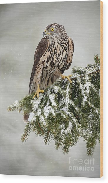 Goshawk Sitting Oh The Spruce Branch Wood Print