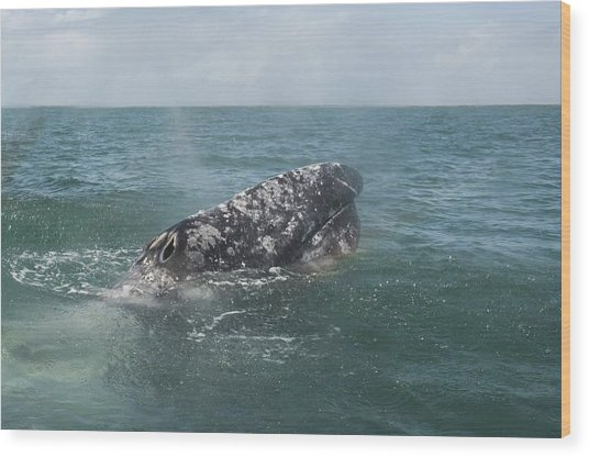 Gray Whale In Bahia Magdalena Wood Print
