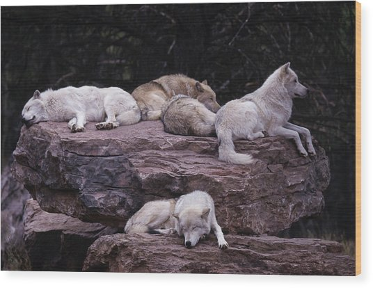 Gray Wolf, Canis Lupus Wood Print