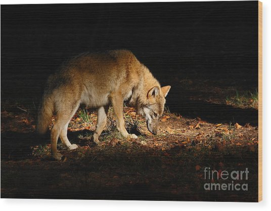 Gray Wolf, Canis Lupus, Hidden In The Wood Print