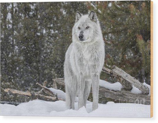 Gray Wolf Wood Print by David Osborn