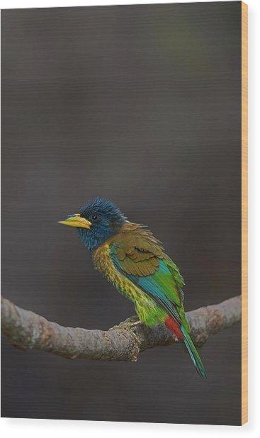 Great Barbet Wood Print