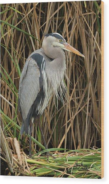 Great Blue Heron On Padre Island Wood Print