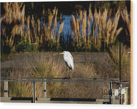 Great Egret Posing By Golden Pampas Grass Wood Print