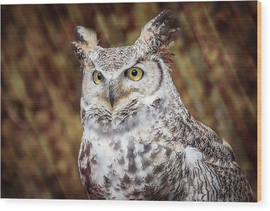 Great Horned Owl Portrait Wood Print