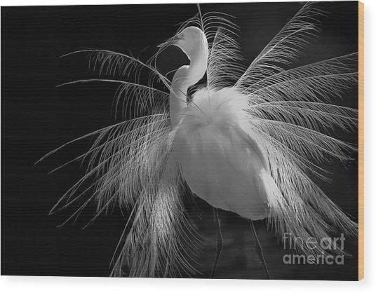 Great White Egret Portrait - Displaying Plumage  Wood Print