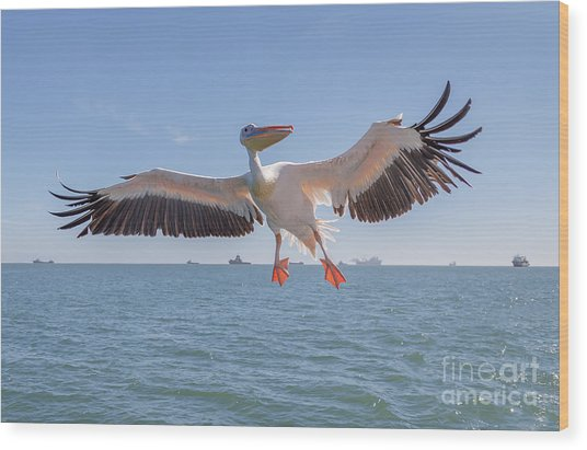 Great White Pelican Catches Fish Thrown Wood Print