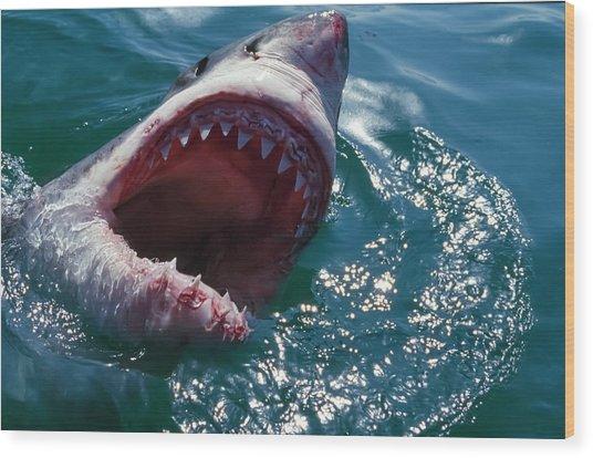 Great White Shark, Near Gansbaii, South Wood Print by Stuart Westmorland