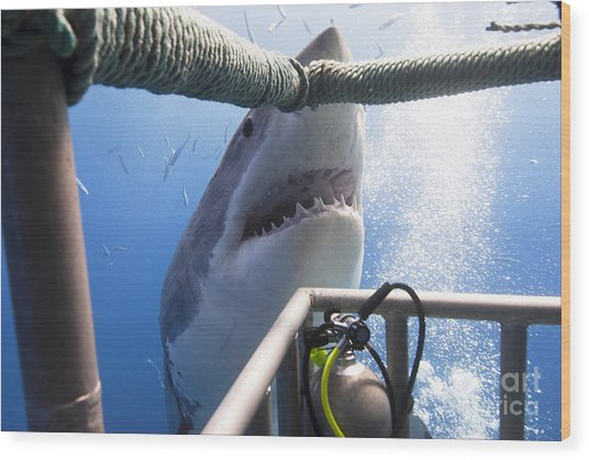 Great White Shark Showing Its Teeth In Wood Print