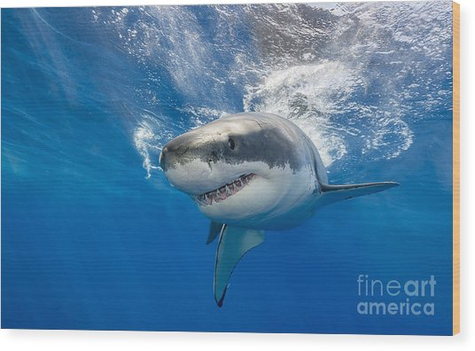 Great White Shark Swimming Just Under Wood Print