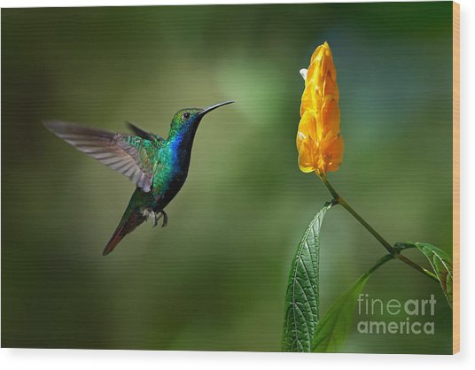 Green And Blue Hummingbird Wood Print